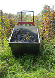 Harvest in October Oltrepo Pavese italy Stock Images