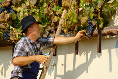 Harvest of the Old Vine on Lent in Maribor. Ceremonial harvest of the Old vine in front of the Old Vine House on Lent in Maribor in autumn: more than 400 years Royalty Free Stock Photos