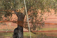Harvest olive trees stock photos