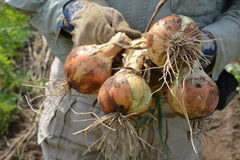 Harvest of Onion. Cultivation of onions in Japan can be harvested around May in the next year by planting seedlings in November Stock Photos