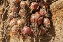 Harvest of onion. Drying of onions on sun. Stock Image