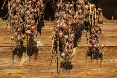 Harvest of onion. Drying of onions on sun. Royalty Free Stock Photo