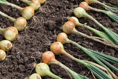 Harvest of onion Royalty Free Stock Photos
