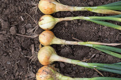 Harvest of onion on the ground. Royalty Free Stock Photography