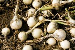 Free Harvest Onions Royalty Free Stock Photo - 16965735