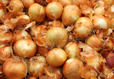 Harvest onions Royalty Free Stock Photography