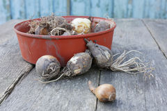 Harvest onions. From the garden on a wooden surface Stock Image