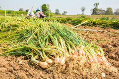 Harvest onions Royalty Free Stock Photos