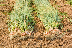 Harvest onions Royalty Free Stock Images