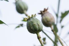 Harvest of opium from green poppy Stock Image