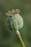 Harvest of opium from green poppy Stock Photo