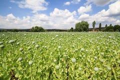 Harvest of opium from green poppy Stock Images