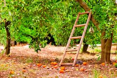 Harvest on orange citrus trees in the garden and a staircase Stock Photography