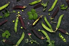 Harvest of organic green and purple pea pods. stock photos
