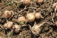 Harvest of organic onion Royalty Free Stock Image