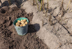 Harvest of organically grown new potato Royalty Free Stock Photos
