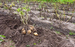 Harvest of organically grown new potatoes Stock Photography