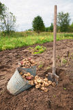 Harvest of organically grown new potatoes Stock Photos