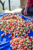 Harvest packing Strawberry  Stock Photos