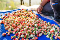 Harvest packing Strawberry  Stock Photo