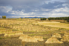 Harvest paddy field under cloudy sky Royalty Free Stock Image