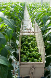 Harvest paprikas in greenhouse Stock Photo