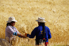 Harvest Partners. Two Peruvian women work to harvest wheat by hand with a sickle Royalty Free Stock Images