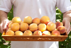 The harvest of peaches Royalty Free Stock Photo