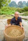Harvest peanuts Stock Images