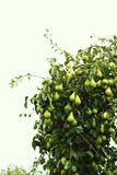 Harvest of pears Stock Images