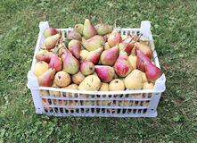 Harvest of pears in box Royalty Free Stock Images