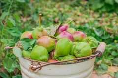 Harvest of pears royalty free stock photos