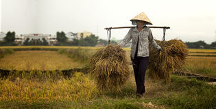 Harvest in Phu My Stock Photo