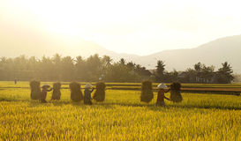 Harvest in Phu My. I took this when I were riding from Quy Nhon City to Phu My Town. It's on harvest and the farmers were working to get their product. It's so Stock Image