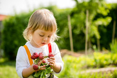 Harvest - picking up radishes Stock Images
