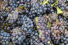 Harvest Pinot Noir Verzernay in France. Harvest of Pinot Noir grapes with little bit of mold in the Champagne region, France Royalty Free Stock Photography