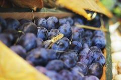 Harvest. Plum close up royalty free stock image