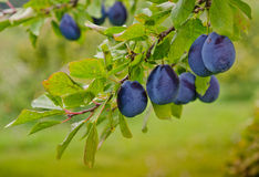 Harvest of Plums. Deep purple plums hang from the branch at an orchard, waiting to be picked Stock Photos