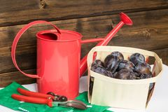 Harvest of plums Stock Image