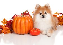 Harvest Pomeranian Stock Images