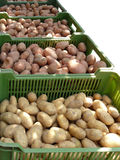 Harvest of potato. A potato is in a container Royalty Free Stock Images