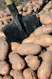 Harvest of potato Stock Image