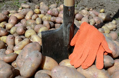 Harvest of potato Royalty Free Stock Photos