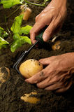 Harvest Potato Royalty Free Stock Images