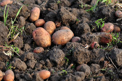 Harvest of potato Royalty Free Stock Photo
