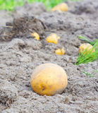 Harvest potatoes. Gathering of the harvest potatoes royalty free stock photos