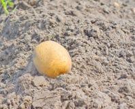 Harvest potatoes Royalty Free Stock Image