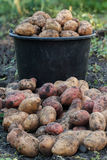 Harvest potatoes on the background of the bucket Royalty Free Stock Images