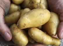 Harvest Potatos. Hands full of fresh harvested potato's Stock Images