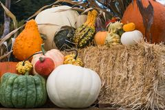 Harvest pumpkin display. Pumpkins and fancy squash on display at the farm Royalty Free Stock Photo